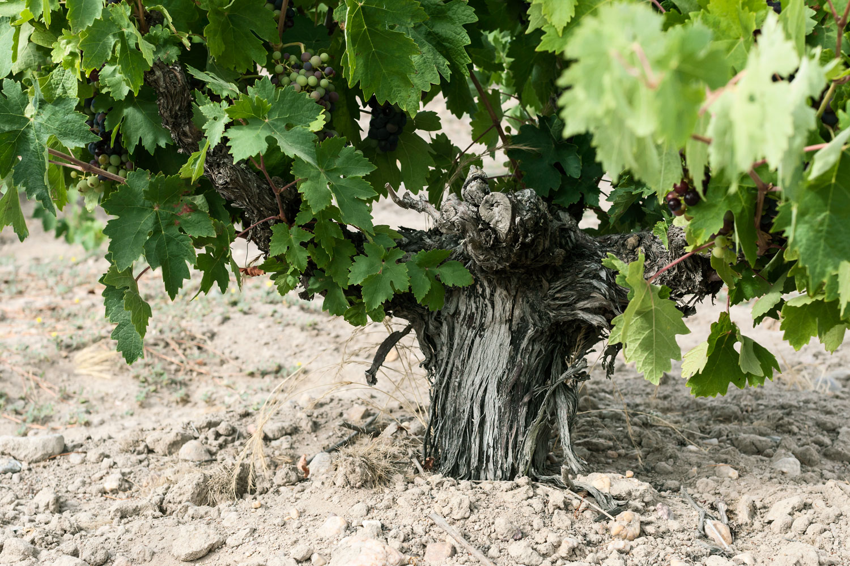 Orot Bodega - D.O. Toro - El viñedo